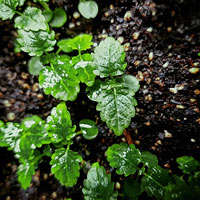 Lemonbalm micro leaves sprouting in compost