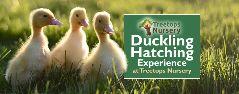 Duckling Hatching Experience at Treetops Nursery